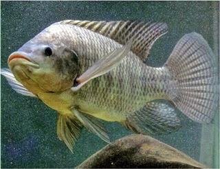 Manfaat Ikan Mujair Serta Kandungan Nutrsi Didalamnya
