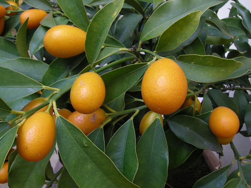 Orto per tutti piante da frutto agrumi for Piante da frutto ornamentali