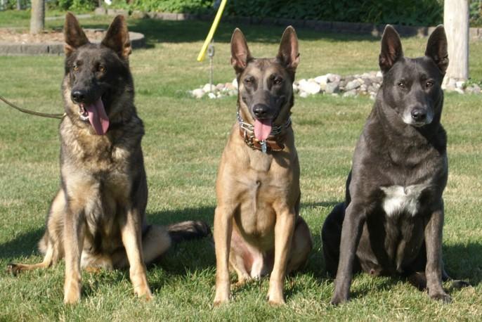 Dutch Shepherd German Shepherd Mix | Dog German Shepherds