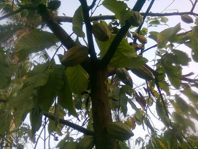 Pohon Cokelat Berbuah Lebat