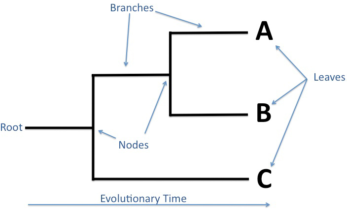 Its everything about biology sebuah tulisan evolusi dan filogeni sebuah tulisan evolusi dan filogeni the root ccuart Choice Image