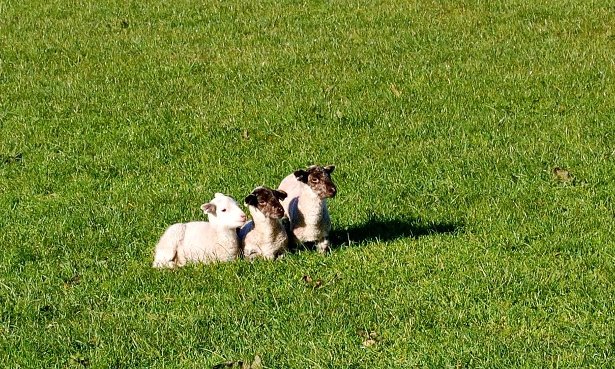 Scottish Blackface lambs on the Isle of Bute