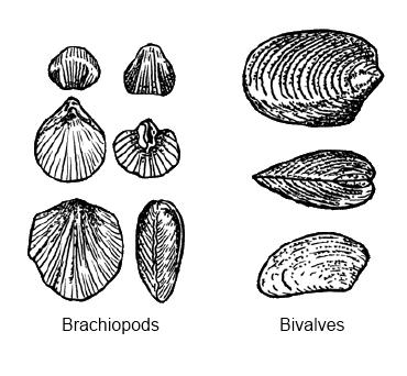 brachiopods1.jpg