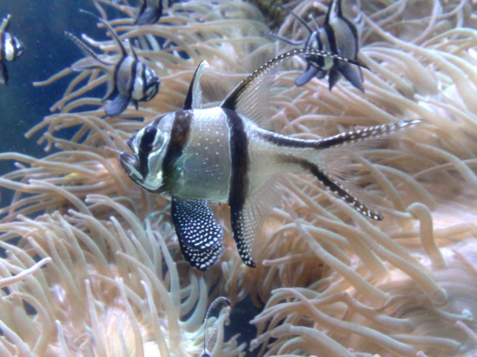 banggai cardinalfish - photo #2