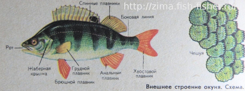 analnie-plavniki-u-rib