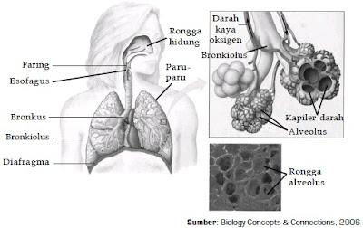 organ pernapasan manusia