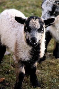 Lambing time....