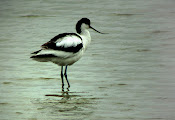 Avocet