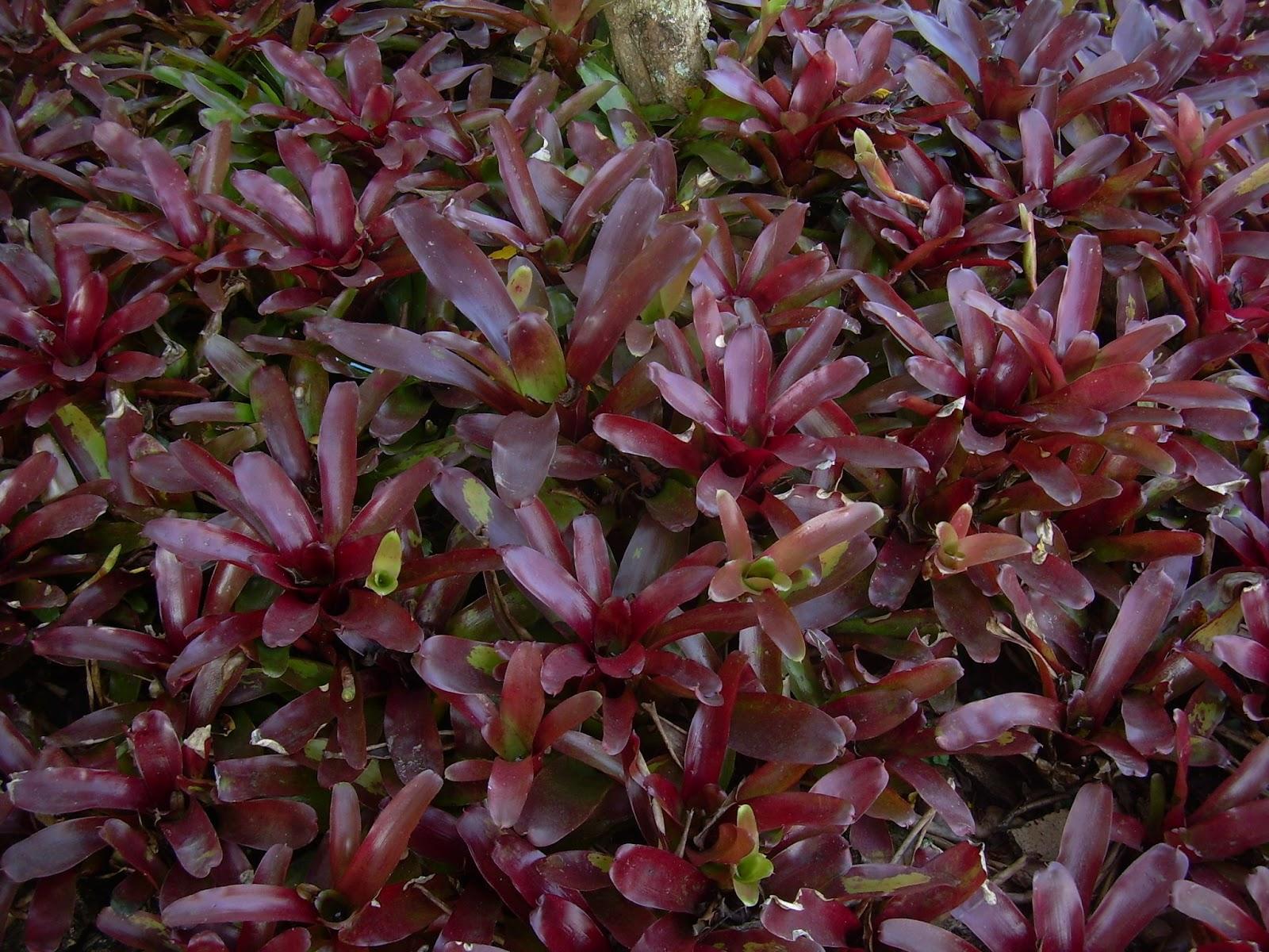 jardins plantas rasteiras:Maria da Saudade: FORRAÇÕES PARA JARDINS E VASOS