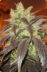 maconha - cannabis