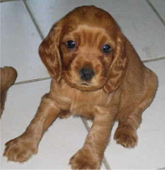 Cocker Spaniel Dog pictures