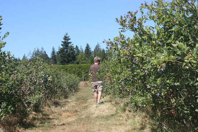 Husband picking blueberries