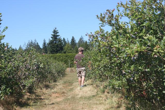 Husband picking blueberries
