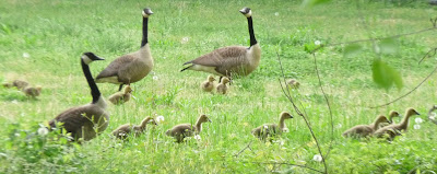 two geese families