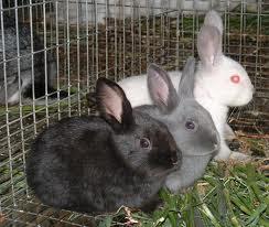 Como criar conejos para negocios