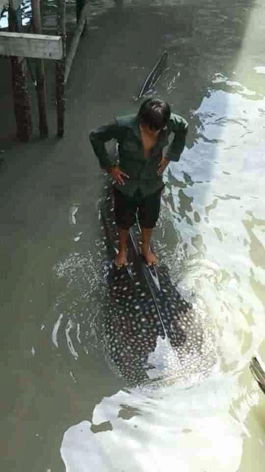 Gambar Ikan Paus Ditemui Di Kampung Pukat Tawau Tersebar