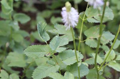 Sanguisorba stipulata (Canadian Burnet, Sitka Burnet)