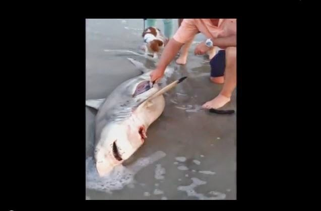 ( LEY DE LA VIDA ) Practican cesarea a un tiburon muerto en la playa y mira