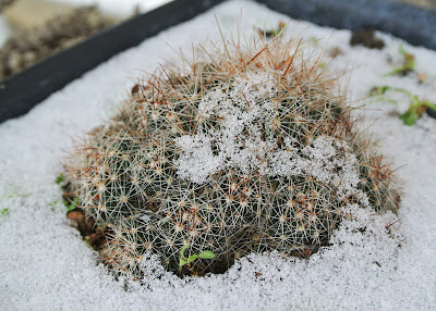 Escobaria vivipara with a light snow cover