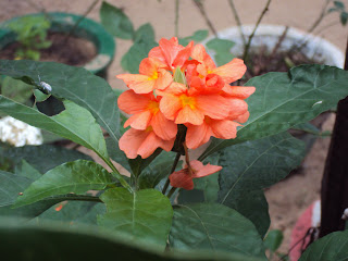 Crossandra infundibuliformis