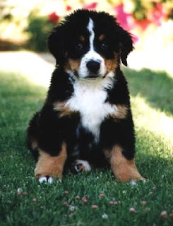 Cute Bernese Mountain Puppy