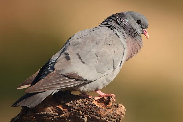 Fotos de palomas mensajeras de colores 85
