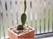 http://finfingarden.blogspot.com/2014/12/oopuntia-microdasys-cactus-cacti-nature.html