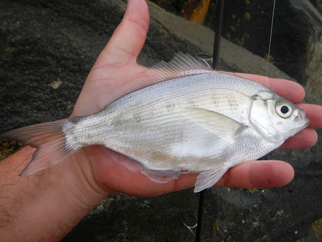 Silver Surfperch