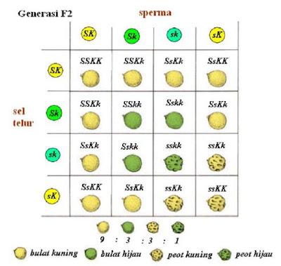 Pengertian dan Contoh Persilangan Monohibrid dan Dihibrid