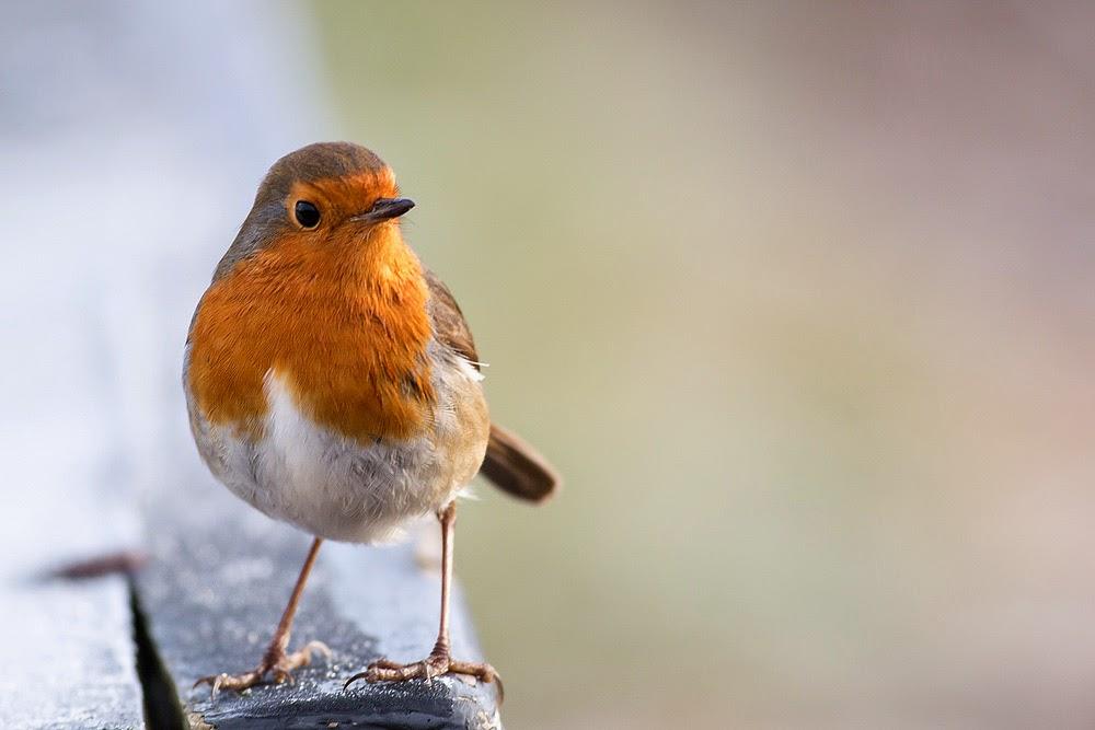Robin perched on a bench - Manor Farm, Milton Keynes