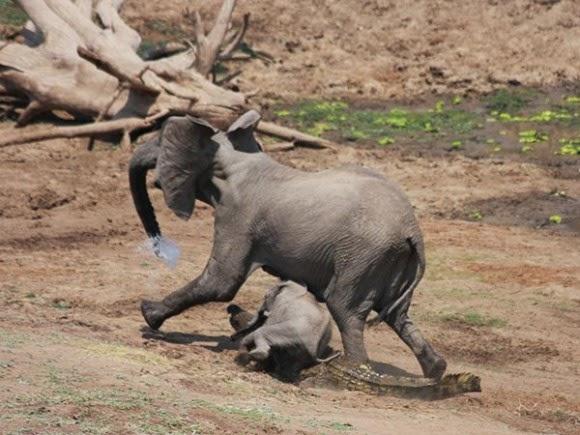 صور نادرة لتمساح يهاجم فيله على ضفاف النهر 70b61f8df