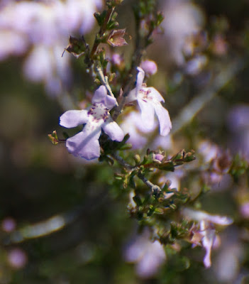 Drummond's Poverty Bush (Eremophila drummondii)