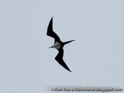Frigatebird (Fregata sp.)