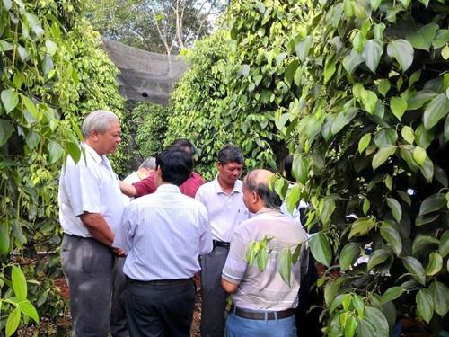 Gia Lai: Thu hơn 10 tỉ đồng một năm nhờ trồng tiêu