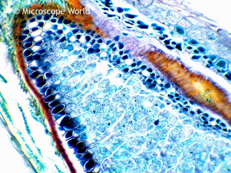 Wheat under a biological microscope at 100x magnification.