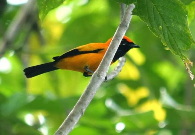 http://www.kutilang.or.id/burung/konservasi/tag/monarch/page/2/