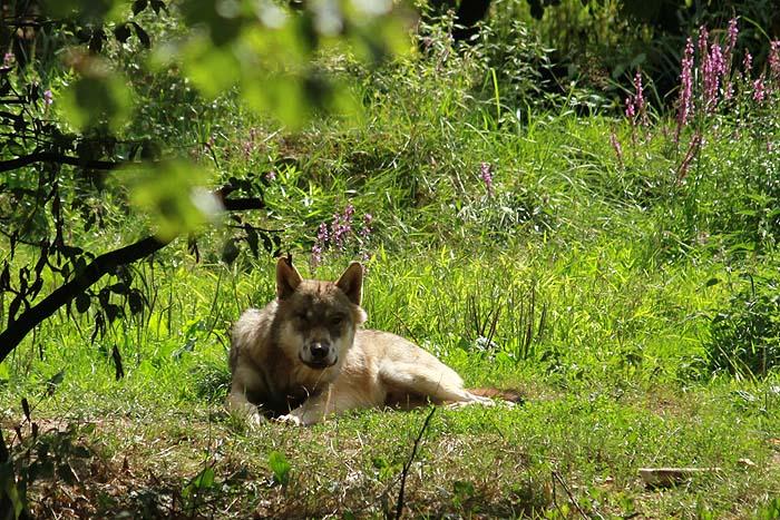 Au loup ! Parc+Sainte+croix+Loup+brun+(2)