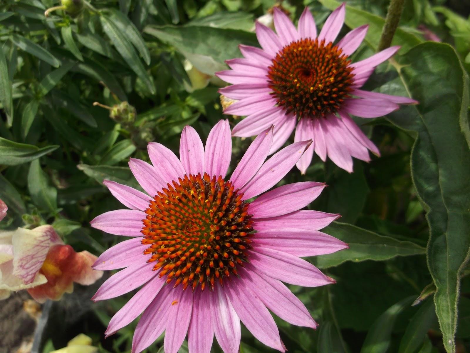 цветы с графиями садовые