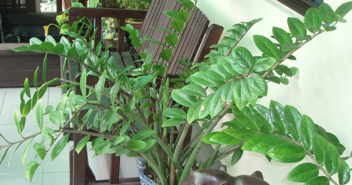 Zestzfulness is the zz plant zamioculcas zamiifolia for Plante zamioculcas