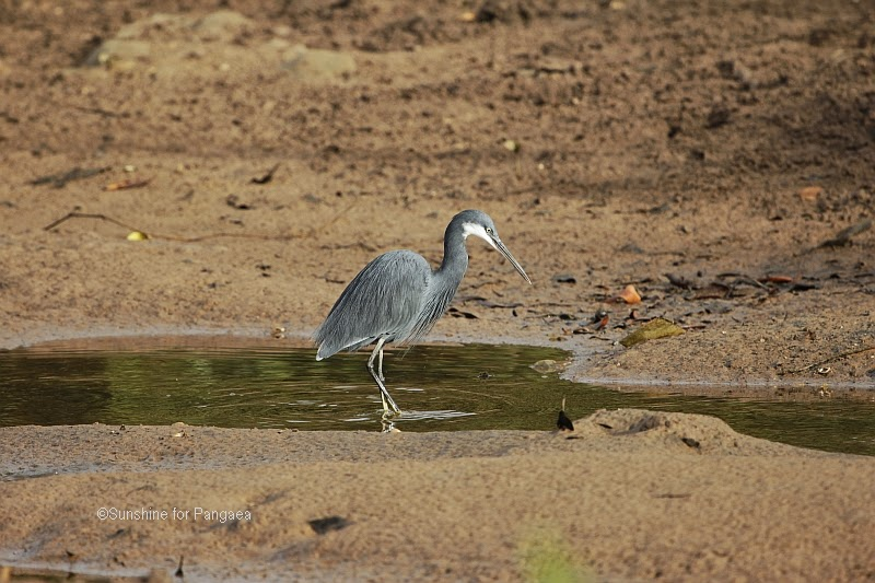 Western Reef Heron in the Abuko rice fields