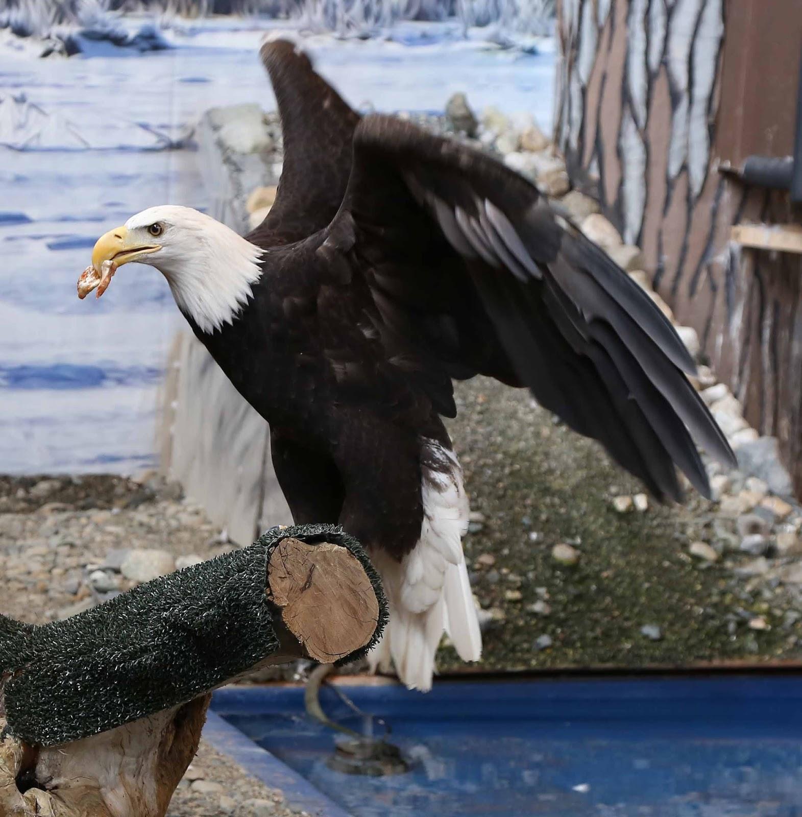 Eagle wings folded