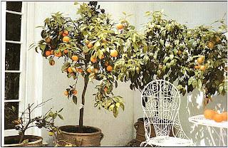 Такие цитрусовые, как апельсиновые деревья, плохо растут в помещении, но это прекрасные оранжерейные растения
