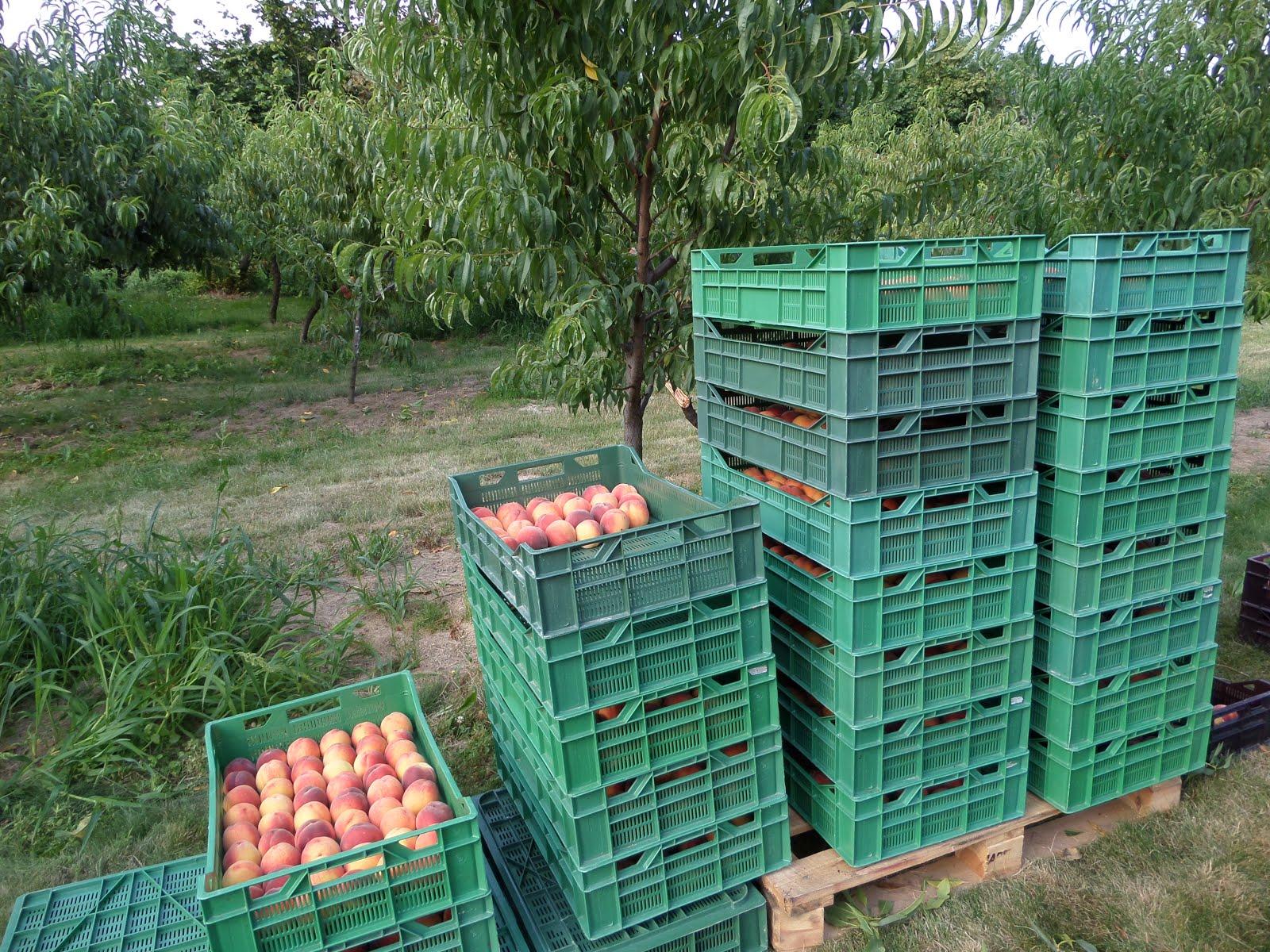 Owoce brzoskwiń zawierają bardzo dużo witamin - m.in. A oraz witamin z grupy B.