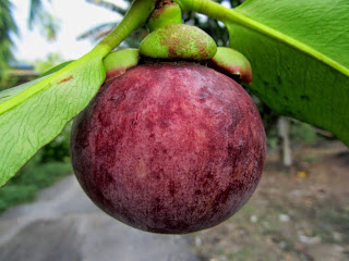 http://4.bp.blogspot.com/-44uKFjVbZTc/VQ-FaDFjx8I/AAAAAAAAKik/3M2TYWbYi9o/s1600/fruitszoom.blogspot.gambar%2Bbuah%2Bmanggis%2B(9).JPG