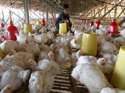 Ayamku Penghasil Rejeki !!! ~ BisnisMu