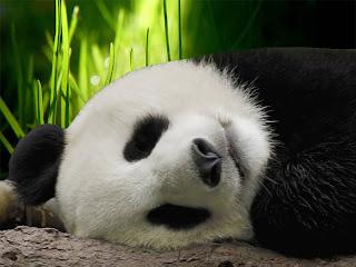 Full Screen Panda Wallpapers Cute Desktop Wallpaper Great Playing Eating