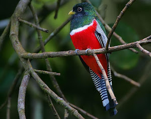 SOROCUA (trogon collaris)
