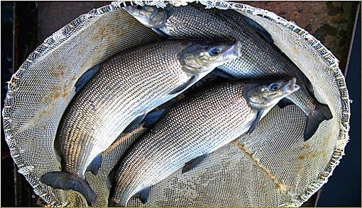 """В Югре впервые состоится рыболовный фестиваль """"День муксуна"""""""