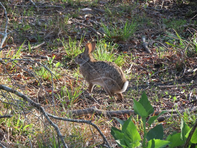 Marsh Rabbit, Sylvilagus palustris