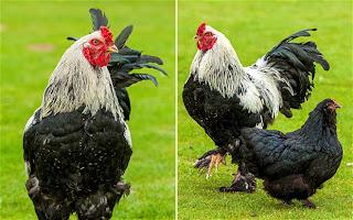 Ayam Terbesar di Dunia dari daniel maulana